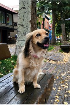 Relaxing on a bench in Aspen. Ruff life. #tongueouttuesday #fall #autumn #colors #leaves