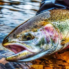 Fly Fishing - trout