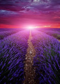Beautiful image of lavender field Summer sunset landscape Beautiful Landscapes, Beautiful Images, Lavender Fields France, Sunset Landscape, Expressive Art, Summer Sunset, Cool Photos, Amazing Photos, Sunrise