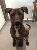 """Photo: THE MAN WITH 100 SMILES  It's Fred!  He's a super happy Plott Hound/Boxer mix with the most gorgeous Brindle coat.  This 1 1/2 year old boy is all smiles and he LOVES dogs of all size (and people, of course).  Fred is a very smart boy who knows many commands such as """"sit,"""" """"down,"""" and """"shake.""""  He's a graduate of k9 connection which is a non-profit organization that brings shelter dogs and teens together to learn from each other and create lasting bonds.  Once adopted, K9 connection…"""