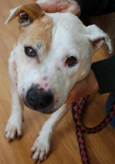 Honey is a 7 year old Pit bull mill.  She came to us with a severe case of untreated hypothyroidism and is now being treated.  She is very shy at first but very gentle and once she knows you, very loving.  This sweet girl is starved for love and is...