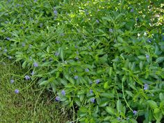 Stachytarpheta jamaicensis, Blue Porterweed, is a wonderful flowering ground cover. Native to South Florida, it stays low, usually under 1ft., grows best in sun to light shade.  A butterfly magnet - larval host & nectar plant for many butterflies, and bees love it. Once established, no irrigation is required.