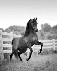 God's beauty on earth - the Arabian Horse