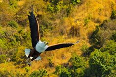 Fly! Bald Eagle, Bird, Animals, Animales, Animaux, Birds, Animal, Animais