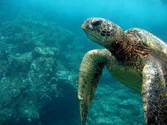 Turtle in Maui