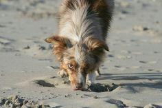 Toy Australian Shepherd - Kymo