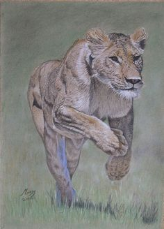 Lioness on the attack - A2 print on canvas. Price: $89.29.