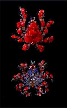 Strawberry #Crab (Pelia mutica)