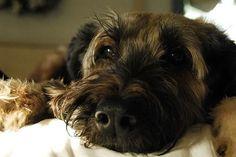 Briard / Berger de Brie #Dog #Puppy
