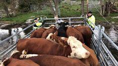 Så tar du emot volontärer på din gård | Land Lantbruk Animals, Animales, Animaux, Animal, Animais, Dieren