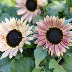Solros i nostalgiskt rosa och gula nyanser med mörk mitt, 12-15 cm stora. Naturligt kompakt och...