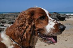 #welshie #welshspringer Chester the welsh spring spaniel loves the beach