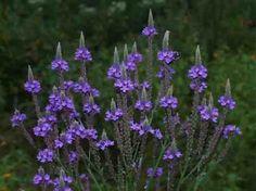 purple Marsh Vervain.jpg