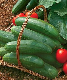 "Cucumber, Bush Champion o room for vines? Bush types take one-third the space, so they're great for containers and raised beds. Bush Champion. 55 days. Huge 8-12"" cukes make this our favorite mini. You won't believe the large number of crisp, bright green slicers you'll get from the pint-sized plants. Mosaic-resistant and productive. Proven tops for productivity, flavor and wide adaptability. Sun."