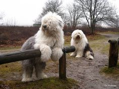old english sheep dogs