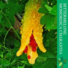 Bittermelone Die Bittermelone (Momordica charantia), auch Bittergurke, Balsambirne oder Bittere Spring-Gurke genannt, ist eine Pflanzenart aus der Gattung Bittermelonen (Momordica) innerhalb der Familie der Kürbisgewächse (Cucurbitaceae). Die tropischen Gemüsefrüchte der Bittermelone sind ein seit Jahrhunderten in vielen Ländern und besonders im asiatischen Raum beliebtes Lebens- und Heilmittel. #kräuter #gesundheit #garten #ernährung #saatgut Kraut, Carrots, Thailand, Stuffed Peppers, Vegetables, Food, Exotic Fruit, Potted Plants, Seeds