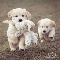 Fluffy Golden Retriever puppies with cuddly toy