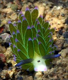 Little Leaf Sheep Nudibranch Grazes Underwater