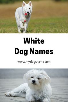 White Dog Names For White Furbabies 135 Awesome Ideas Dog Names Cute White Dogs White Dogs