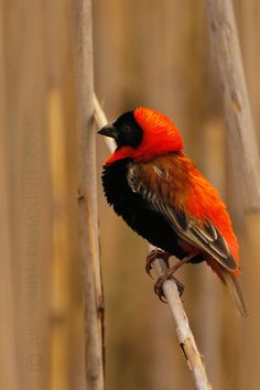 Red Bishop Bird by Somph on deviantART