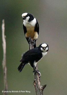 Bornean Falconet, smallest bird of prey in the world