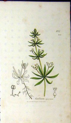 1. Medicinal- Clivers, or goose-grass. Galium Spurium  (1808 James Sowerby Botanical Print )