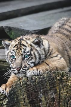 "souhailbog:  "" Sumatran Tiger Cub By Gary Brookshaw """