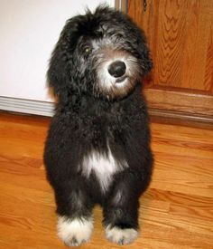 42 Best Pets - Dogs- Old English Sheepdog images in 2017