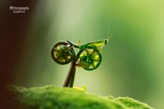 """Praying Mantis Riding a Bike"" by photographer Tustel Ico. Indonesian photographer Tustel Ico captured this shot of a praying mantis 'riding' two sprouting ferns which look like a bike. Fotografia Macro, Macro Photography, Animal Photography, Amazing Photography, Bike Photography, Funny Animal Pictures, Funny Animals, Bizarre Animals, Photo Illusion"