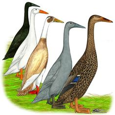 "Hatchery Choice Assorted Indian Runner Ducks for sale - Make great pets! Great ""Green"" alternative to using pesticides around your yard! #IndianRunnerDucks #Ducks http://www.efowl.com/Assorted_Indian_Runner_Ducks_p/1068.htm&Click=32918"