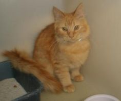 31463 Martin is an adoptable Maine Coon Cat in Zanesville, OH. I am about 4 months old....