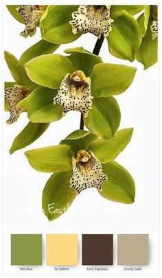 ↔❤↔→ Orchid 'Green Dragon' Cymbidium I feel like this shows amazing things nature can do, green petals you rarely ever see that! Green Orchid, Orchid Plants, Exotic Plants, Green Flowers, Pretty Flowers, Orchid Seeds, Flower Seeds, Green Rose, Orchid Color
