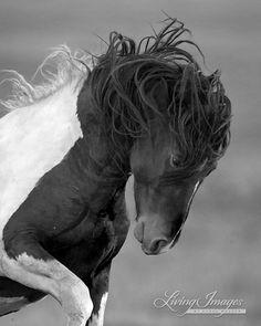 Wild Head Shake  Fine Art Wild Horse Photograph by Carol Walker www.LivingImagesCJW.com