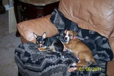 Penny my 4 pound Chihuahua, & Lilly my Boxer