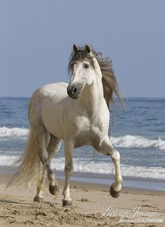 grey Andalusian stallion on he beach at Ojai, CA Horse Photos, Horse Pictures, Strongest Animal, Horse Wallpaper, Horse Anatomy, Morgan Horse, Horse Books, Most Beautiful Horses, Andalusian Horse