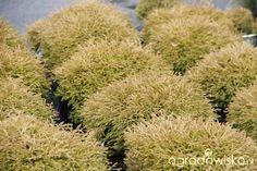 "Thuja occidentalis ""Golden Tuffet"" - Forum ogrodnicze - Ogrodowisko Thuja Occidentalis, Herbs, Garden, Plants, Garten, Lawn And Garden, Herb, Gardens, Plant"