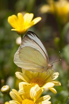 Butterfly or moth? Butterfly Kisses, Butterfly Flowers, Beautiful Butterflies, Beautiful Flowers, White Butterfly, Flying Flowers, Yellow Flowers, Butterfly Pictures, Butterfly Cards