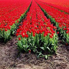 RED #tulips #igersholland #holland #dutch #flower #ubiquography #keukenhof #tulipfieldsexperience - @alanisko- #webstagram