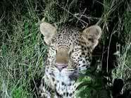 An Amazing Leopard sighting. Four Square, Gate, Amazing, Animals, Animales, Portal, Animaux, Animal, Animais