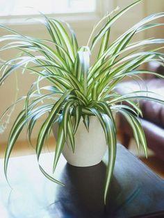 plantas-de-interior-spider-plant : Si estornudas cada invierno por el polvo, necesitas unas cintas en tu vida. Las hojas absorben los alérgenos (como el polvo) y en dos días esta planta puede eliminar hasta el 90% de las toxinas en una habitación.