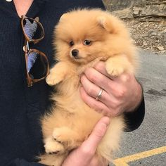 Cute or not? 😍 Rate this cuteness out of 10 💖 - Pomeranian White Teacup Husky Haircuts Images Mix - Puppies Teacup Pomeranian, Pomeranian Puppy, Pomeranian Haircut, Pomsky, Yorkie Dogs, Cute Puppies, Cute Dogs, Dogs And Puppies, Doggies