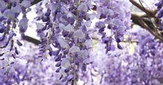Der Blauregen (Wisteria) hat mit seinem unbändigen Wuchs schon so manchen Hobbygärtner überfordert. Um ihn im Zaum zu halten, müssen Sie ihn zweimal im Jahr schneiden – aber seine prächtige Blüte ist den Aufwand wert.