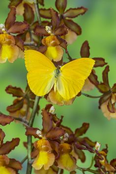 Sulfur Butterfly, Phoebis sennae, on Orchid photography by:  Darrell Gulin
