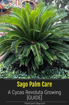 Palm Tree Care, Palm Trees, Small Front Yard Landscaping, Pool Landscaping, Sago Palm Care, Spanish Garden, Palm Plant, House Plant Care, Organic Gardening