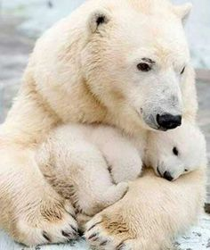 Polar bears Polar bearsYou can find Beautiful creatures and more on our website. Nature Animals, Animals And Pets, Beautiful Creatures, Animals Beautiful, Cute Baby Animals, Funny Animals, Mother And Baby Animals, Animals Kissing, Baby Polar Bears