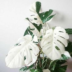 Monstera deliciosa Albino Seeds 20 to 100 pcs/pack Bonsai For Home Garden Monstera Deliciosa, Plante Monstera, Best Indoor Plants, Cool Plants, Tropical Flowers, Tropical House Plants, Plantas Indoor, Boho Glam Home, Walled Garden