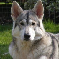 Northern Inuit Dog-- DIRE WOLF!!!