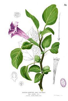 Datura metel Thorn Apple