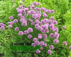 Allium schoenoprasumRuohosipuli