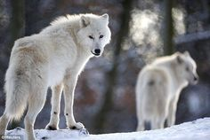 El lobo ártico vive en lugares donde el frío es extremo, y debido a esto posee dos capas gruesas de piel que lo protegen de las bajas temperaturas.